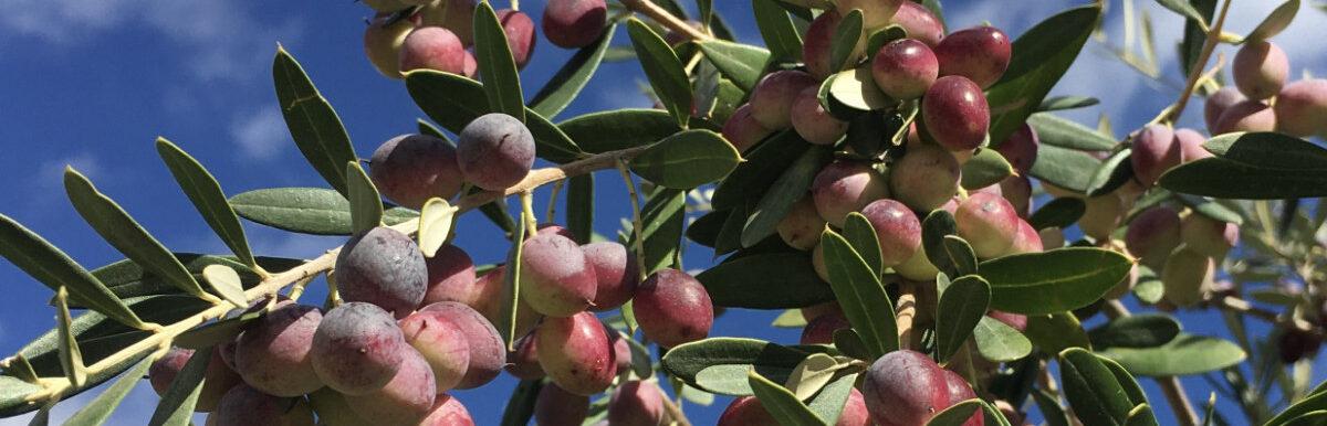 Infothek - Olivenöle aus Andalusien