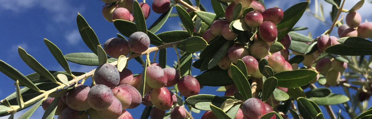 KoraStyle Infothek - Olivenöle aus Andalusien